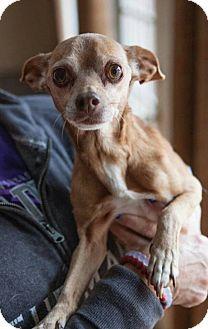 Chihuahua Mix Dog for adoption in Matthews, North Carolina - Taz