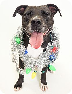 Labrador Retriever/American Pit Bull Terrier Mix Dog for adoption in Phoenix, Arizona - Casey