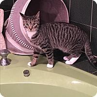 Adopt A Pet :: Boots - Bedford Hills, NY