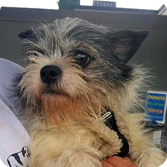 Yorkie, Yorkshire Terrier/Brussels Griffon Mix Dog for adoption in New York, New York - Candy! *FOSTER NEEDED 4/24*