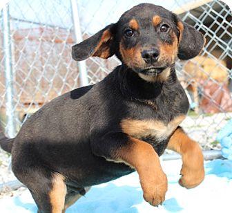 Black and Tan Coonhound/Australian Shepherd Mix Puppy for adoption in Brattleboro, Vermont - Cornbread