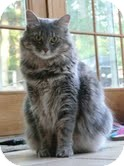 Maine Coon Cat for adoption in East Brunswick, New Jersey - Smokey