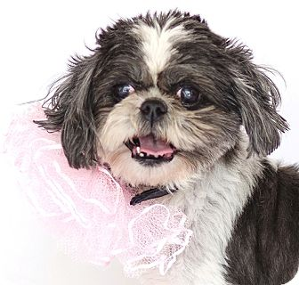 Shih Tzu Dog for adoption in Orlando, Florida - Powder Puff