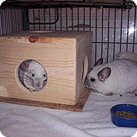 Adopt A Pet :: Lilo & Stitch - Avondale, LA