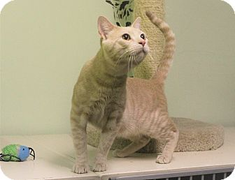 Domestic Shorthair Cat for adoption in Murphysboro, Illinois - Wade WIlson