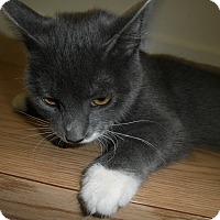 Adopt A Pet :: Satin - Milwaukee, WI