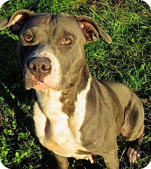 Pit Bull Terrier Mix Dog for adoption in West Babylon, New York - Leandra