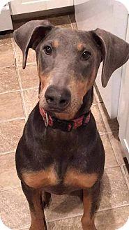 Doberman Pinscher Puppy for adoption in bridgeport, Connecticut - Maxy