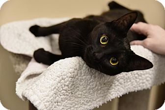 Domestic Shorthair Kitten for adoption in Chicago, Illinois - Meenie