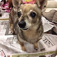 Adopt A Pet :: Shep - Durham, NC