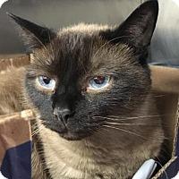 Siamese Cat for adoption in Media, Pennsylvania - Leo