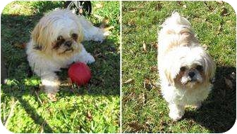 Shih Tzu Dog for adoption in Mays Landing, New Jersey - Lucie-VA