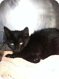 Domestic Shorthair Kitten for adoption in Fort Riley, Kansas - Hermes