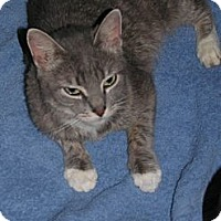 Domestic Shorthair Cat for adoption in Binghamton, New York - Alexa