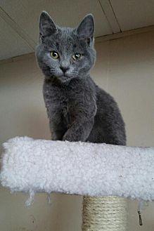 Domestic Shorthair Kitten for adoption in Jefferson, Ohio - Mason