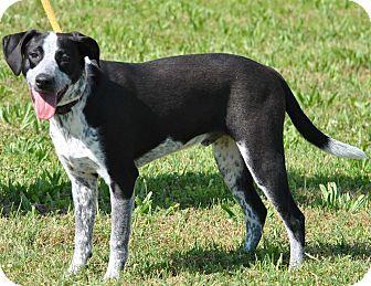 Plott Hound/Bloodhound Mix Dog for adoption in Red Oak, Iowa - Riley