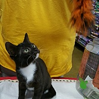 Domestic Shorthair Kitten for adoption in Alhambra, California - Harriet Tubman