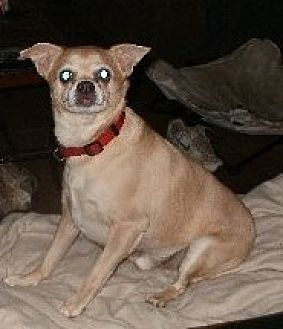 Chihuahua Dog for adoption in Grantville, Pennsylvania - Leon