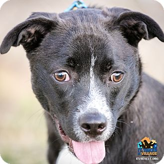 Labrador Retriever Mix Dog for adoption in Evansville, Indiana - Prince