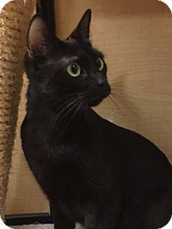 Bombay Cat for adoption in Houston, Texas - Ben