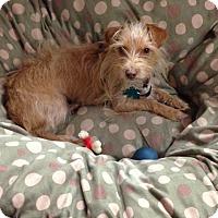 Chihuahua/Dachshund Mix Dog for adoption in Alpharetta, Georgia - Meisha B