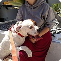 Adopt A Pet :: Chuck - Beverly Hills, CA