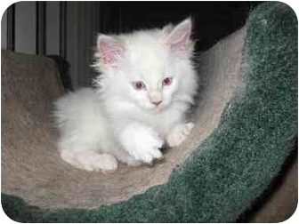 Manx Kitten for adoption in Lethbridge, Alberta - Hannah