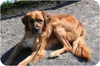 Adopt golden retriever in ny