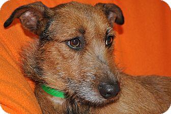 Terrier (Unknown Type, Medium) Mix Dog for adoption in Tumwater, Washington - Coco
