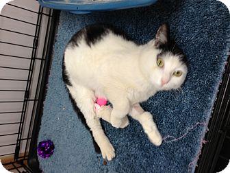 Domestic Mediumhair Cat for adoption in Aiken, South Carolina - Kendall