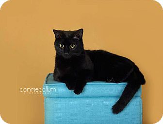 Domestic Shorthair Cat for adoption in Birmingham, Alabama - Cole
