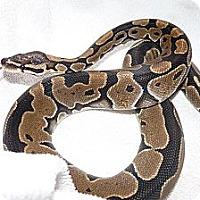 Adopt A Pet :: Dodger - Richmond, BC