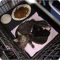Adopt A Pet :: Harriet - Harrisburg, NC