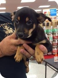 Shepherd (Unknown Type) Mix Puppy for adoption in Tucson, Arizona - June