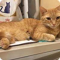 Adopt A Pet :: Leon front declaw - McDonough, GA