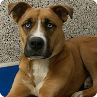 Akita/Boxer Mix Dog for adoption in Middletown, Ohio - Merlin