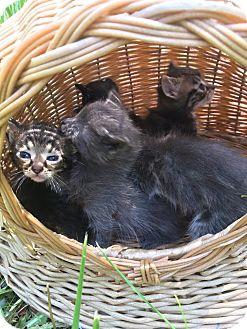 Domestic Shorthair Kitten for adoption in Silver Lake, Wisconsin - KITTEN
