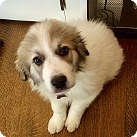 Adopt A Pet :: Barley - Nanuet, NY