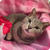 Adopt A Pet :: Gracie/ loves people, lap cat - Bryn Mawr, PA
