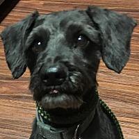 Adopt A Pet :: Elvis - Van Alstyne, TX