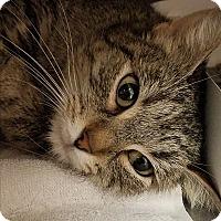 Adopt A Pet :: Professor McGonogal - Indianapolis, IN