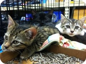 Bengal Kitten for adoption in Cranford/Rartian, New Jersey - Huey