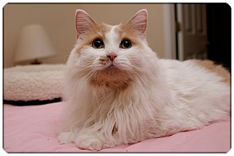 Domestic Mediumhair Cat for adoption in Sterling Heights, Michigan - Fergie - ADOPTED!