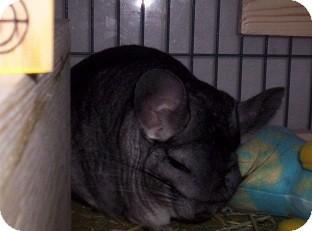 Chinchilla for adoption in Avondale, Louisiana - Chubbs