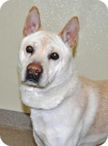 Jindo Dog for adoption in Port Washington, New York - Onyx