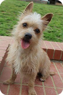 Silky Terrier/Border Terrier Mix Dog for adoption in Wytheville, Virginia - Dobby