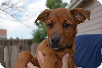 Labrador Retriever/Shepherd (Unknown Type) Mix Puppy for adoption in Westminster, Colorado - Bella