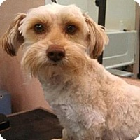 Adopt A Pet :: Gibby - FOSTER NEEDED - Seattle, WA