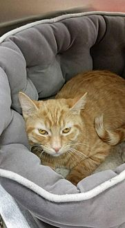 Domestic Shorthair Cat for adoption in Marlboro, New Jersey - Citrus