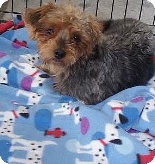 Yorkie, Yorkshire Terrier Mix Dog for adoption in San Fernando Valley, California - Poppy
